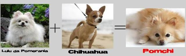lulu + chihuahua