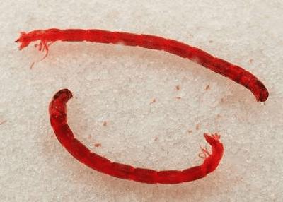 cacing darah segar