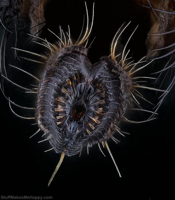 5. Proboscis of a housefly. (Photo by Oliver Dum - Nikon Small World Photomicrography 2021)