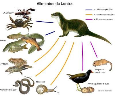 O seu habitat natural é o rio, onde busca alimentos, como peixes, crustáceos, répteis e, com menos frequência, aves e pequenos mamíferos.