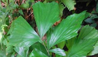 wild edible jungle plant fishtail palm