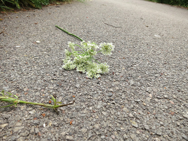 White flowers (umbelliferous, carrot family?) broken from their plant and thrown on tarmac path.