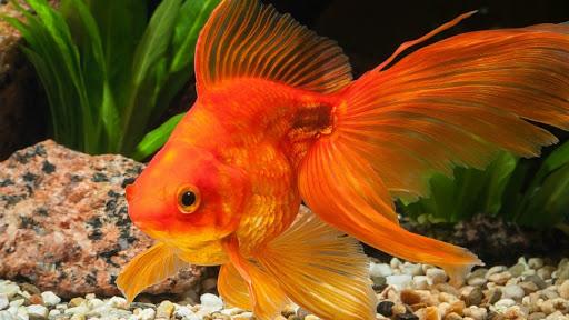 تربية سمك الزينة في المنزل وأسرار لاتعرفها عنها