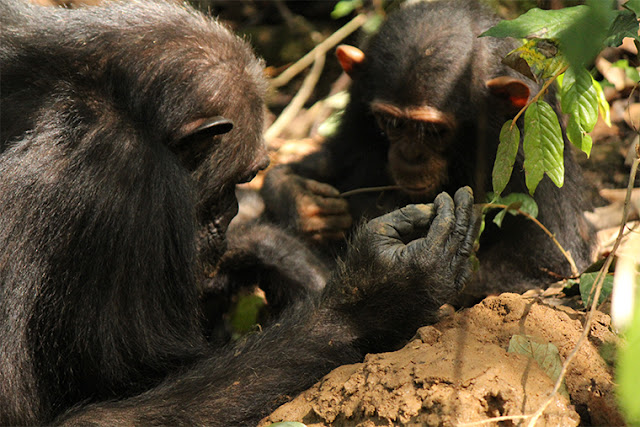Chimpanzees more likely to share tools, teach skills when task is complex