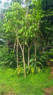 Pembibit pohon pelindung rosea tabibuya bunga ping