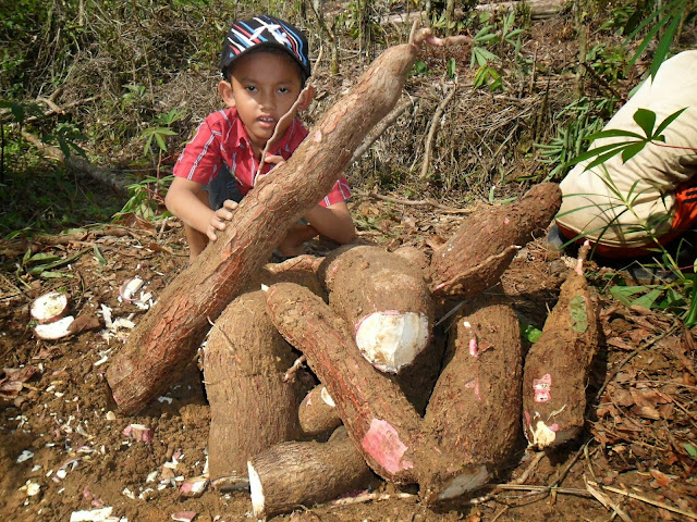 khasiat ketela pohon, manfaat ketela pohon, khasiat singkong, manfaat singkong, manfaat, khasiat, Khasiat dan Manfaat Ketela Pohon atau Singkong