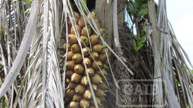 Pohon Palma Attalea funifera