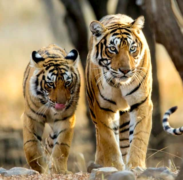 Tigress and baby tiger