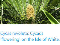 https://sciencythoughts.blogspot.com/2019/08/cycas-revoluta-cycads-flowering-on-isle.html