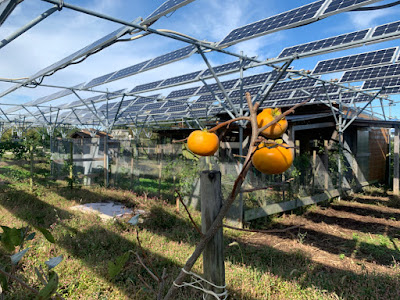 Persimmons on a solar sharing farm in Tsukuba, Japan.