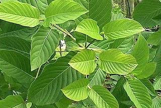 Kratom The Legal Opiate