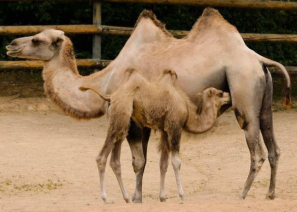 Learn about camels, where they live, what they eat, and their amazing adaptations.  Dromedary, wild Bactrian, domesticated dromedary camels. #kellysclassroomonline