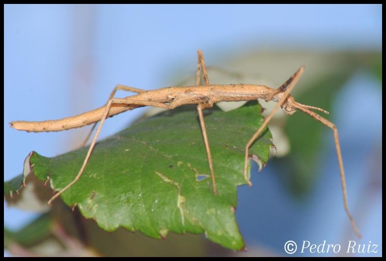 Ninfa macho L2 de Onchestus rentzi, 3,2 cm de longitud