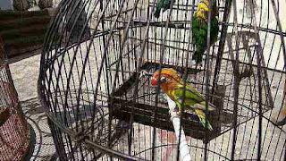 Terapi Agar burung Lovebird ngekek panjang