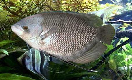 Budidaya Ikan Gurame Bastar
