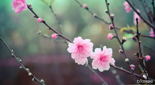 hoa đào