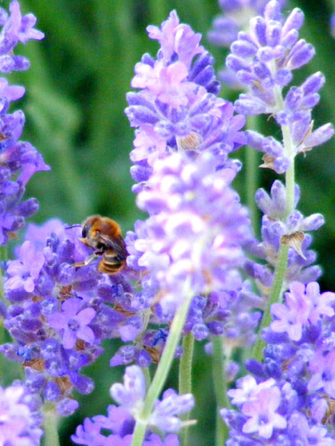 Mediterranean Wood-boring Bee Lithurgus chrysurus on lavender.  Indre et Loire, France. Photographed by Susan Walter. Tour the Loire Valley with a classic car and a private guide.