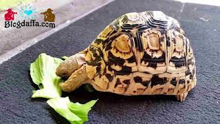 Kura-Kura Pardalis (Leopard Tortois)