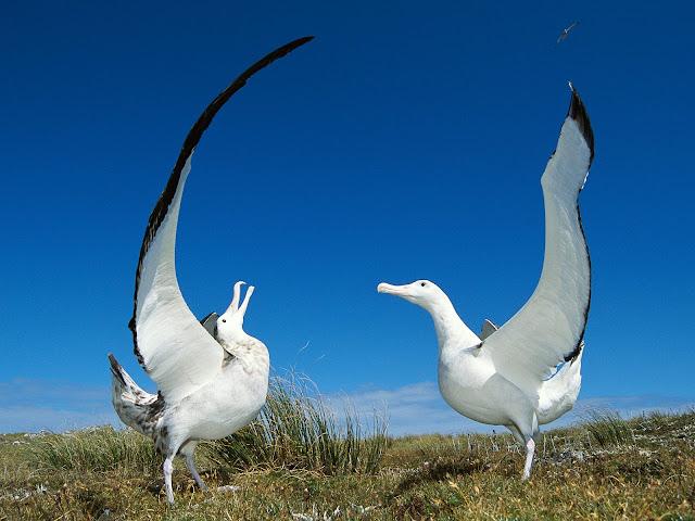 Resultado de imagen de albatros