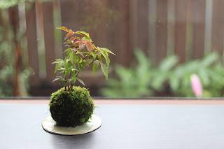 丸い薄緑色の陶盤にのったハゼノキの苔玉