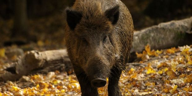 Boars roam Czech mountains after eating mushrooms contaminated by the Chernobyl disaster