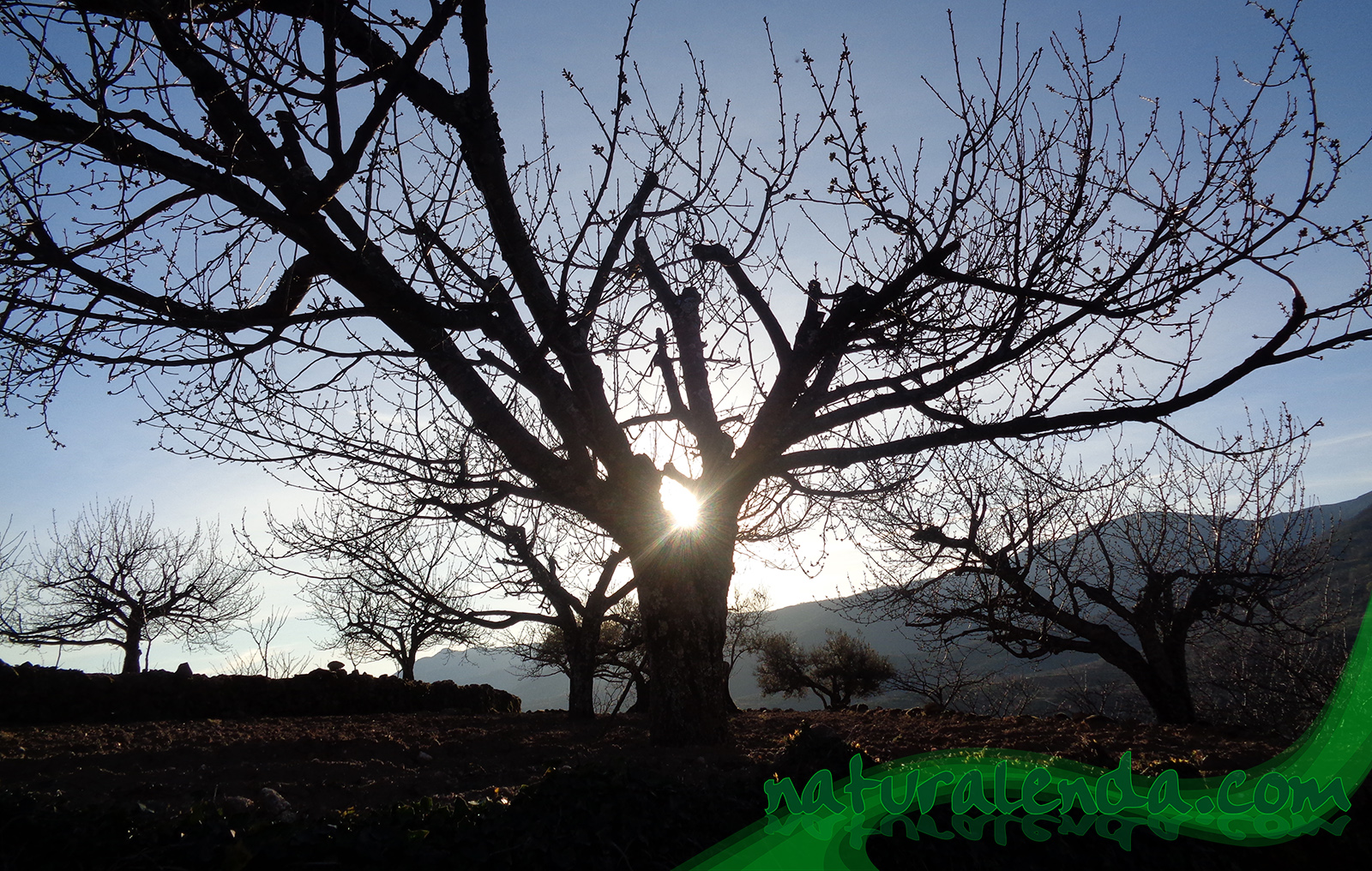 Contraluz del cerezo