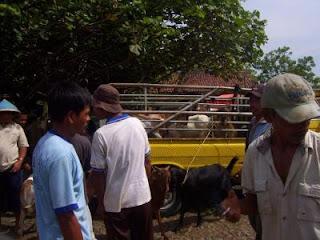 pengecekan fisik ternak sebelum masuk truk