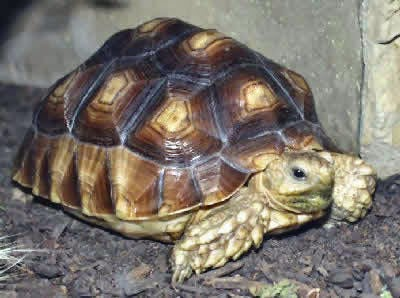 African spurred tortoise - photo#37