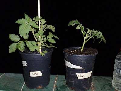 Comparison of clone to mother plant