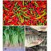 Kangkung, Ikan Mujair, dan Cabe Penyebab Inflasi di Mimika