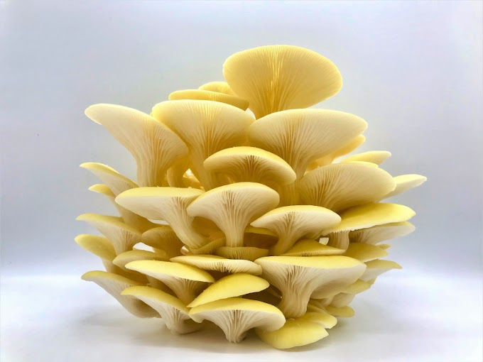 Buy Mushroom spawn in Bangalore   Biobritte Cart