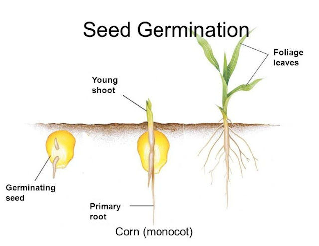 Process corn seed germination