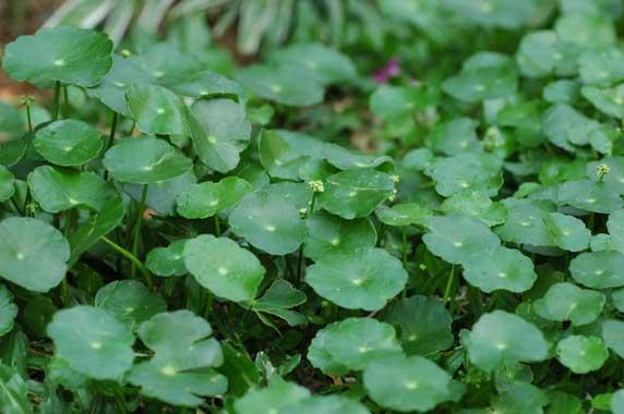 vallarai anti aging herbs