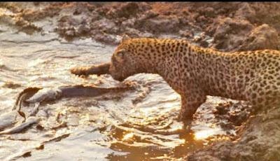 Macan tutul berburu ikan lele