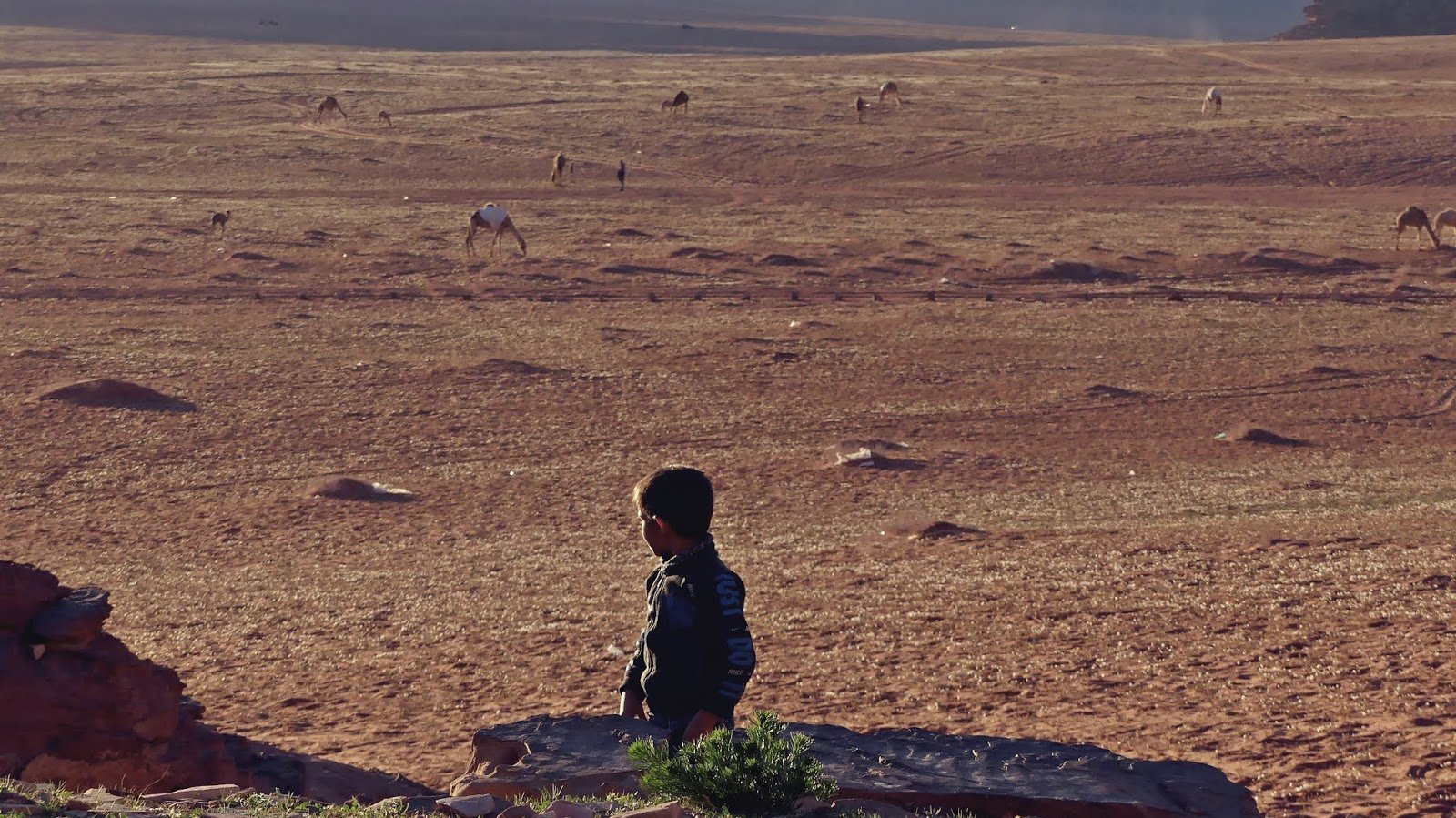 Wadi Rum Jordania wielbłądy