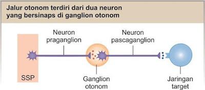 Jalur otonom memiliki dua neuron eferen dalam rangkaian