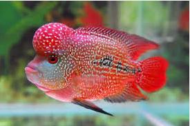 Flowerhorn, 7 Besar Ikan Hias Paling Populer Di Indonesia
