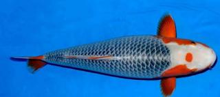 Ikan koi merupakan salah satu jenis ika hias air tawar  Kabar Terbaru- IKAN KOI TERMAHAL DAN JENISNYA