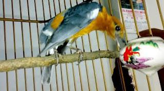 anis merah gacor
