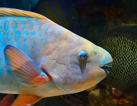 parrot fish fact