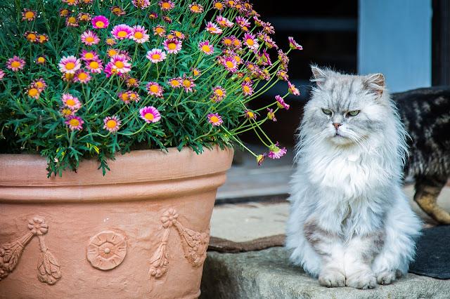 Karakteristik kucing Persia