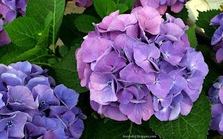 http://fotobabij.blogspot.com/2015/03/kwiaty-hortensji.html