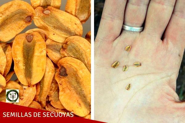Las semillas de secuoyas es pequeña de color marrón y aplanada como la de los cipreses.