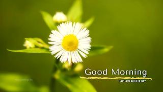 white daisy flower Good morning images