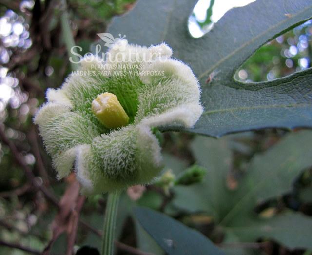 Cayaponia bonariensis  Tayuyá
