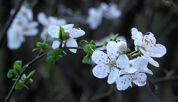 Closeup of White Plum Blossoms on Tree
