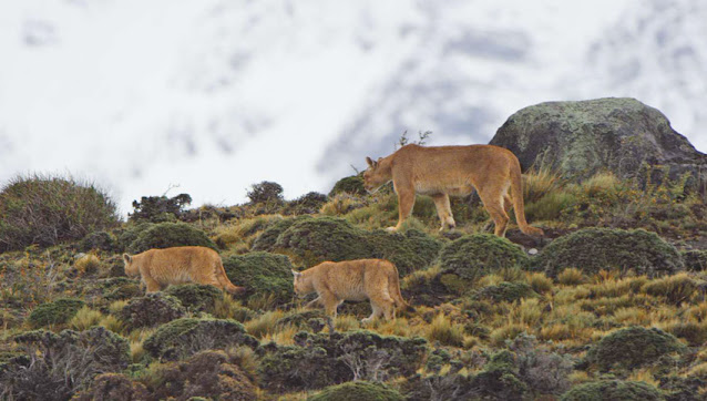 Cougars in Torres del Paine Park.