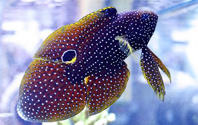 cara merawat Cupang Laut