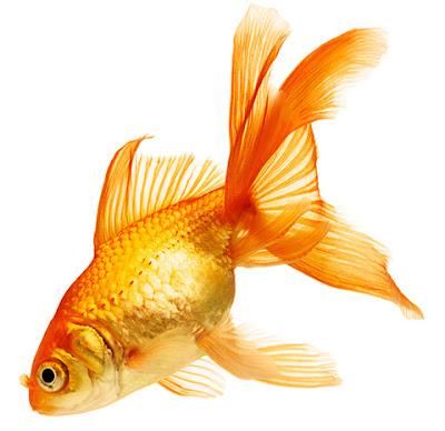 Revealed: Goldfish make alcohol to survive without oxygen