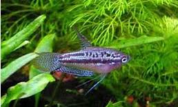 Pygmy Gourami, Ikan hias air tawar terindah Pygmy Gourami ikan hias aquarium